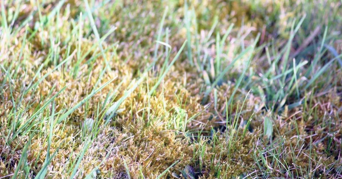Facts about Lawn Moss