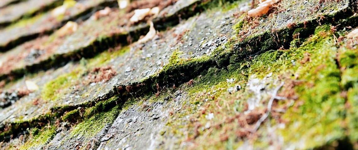 Shingles damaged by moss growth